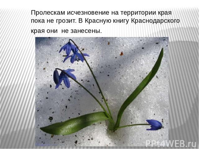 Пролескам исчезновение на территории края пока не грозит. В Красную книгу Краснодарского края они не занесены.