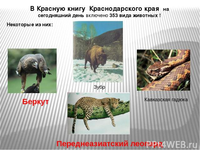 В Красную книгу Краснодарского края на сегодняшний день включено 353 вида животных ! Некоторые из них: Беркут Зубр Кавказская гадюка Переднеазиатский леопард
