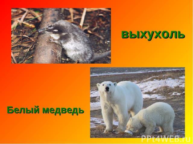 выхухоль Белый медведь