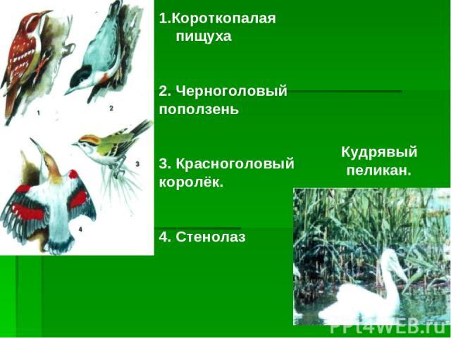 1.Короткопалая пищуха 2. Черноголовый поползень 3. Красноголовый королёк. 4. Стенолаз Кудрявый пеликан.