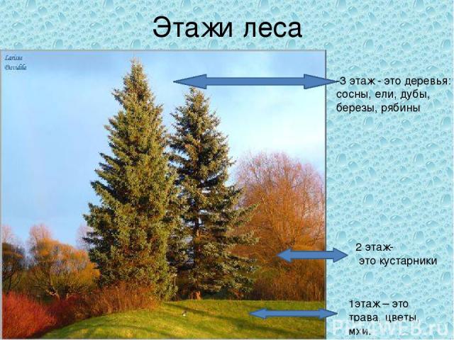 Этажи леса -3 этаж - это деревья: сосны, ели, дубы, березы, рябины 2 этаж- это кустарники 1этаж – это трава, цветы, мхи.