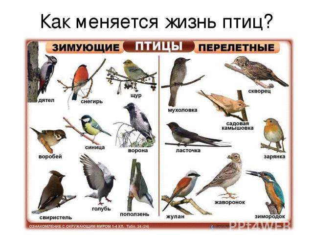 Как меняется жизнь птиц? Осёдлые