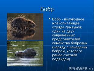 Бобр Бобр - полуводное млекопитающее отряда грызунов; один из двух современных п