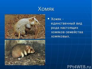 Хомяк Хомяк - единственный вид рода настоящих хомяков семейства хомяковых.