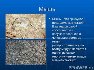 Мышь Мышь - вид грызунов рода домовых мышей. Благодаря своей способности к сосущ