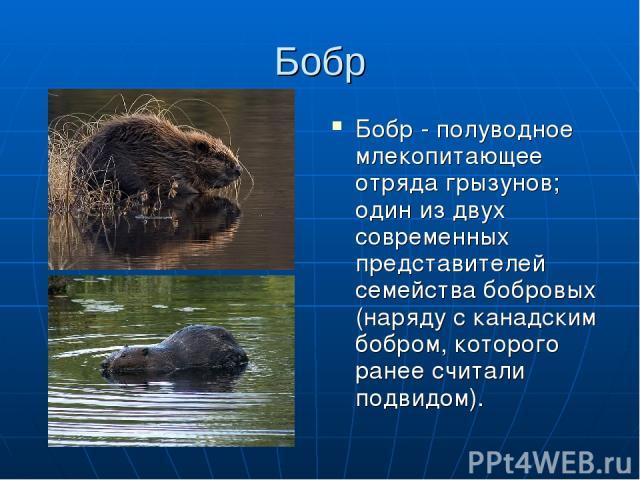 Бобр Бобр - полуводное млекопитающее отряда грызунов; один из двух современных представителей семейства бобровых (наряду с канадским бобром, которого ранее считали подвидом).