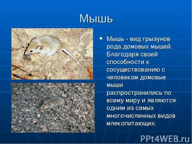 Мышь Мышь - вид грызунов рода домовых мышей. Благодаря своей способности к сосуществованию с человеком домовые мыши распространились по всему миру и являются одним из самых многочисленных видов млекопитающих.