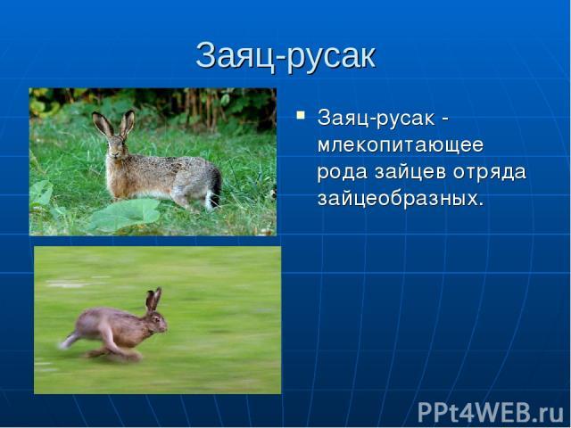 Заяц-русак Заяц-русак - млекопитающее рода зайцев отряда зайцеобразных.