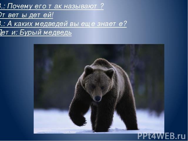 В.: Почему его так называют? Ответы детей! В.: А каких медведей вы еще знаете? Дети: Бурый медведь