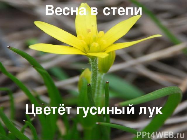 Весна в степи Цветёт гусиный лук