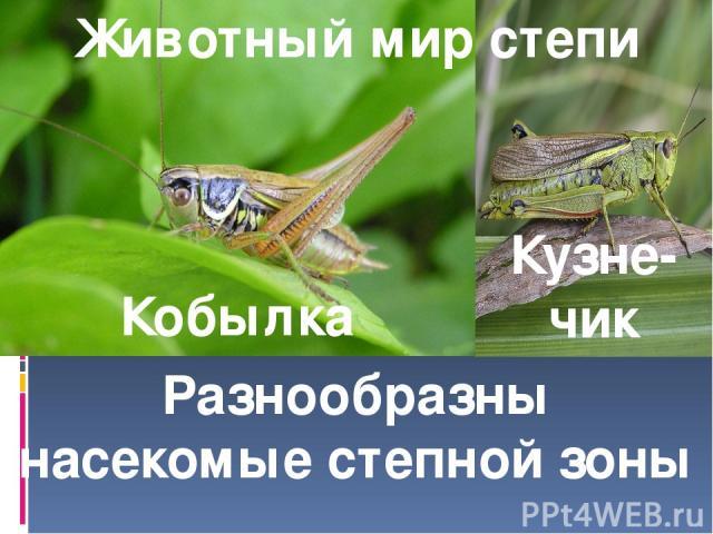 Животный мир степи Кобылка Кузне-чик Разнообразны насекомые степной зоны