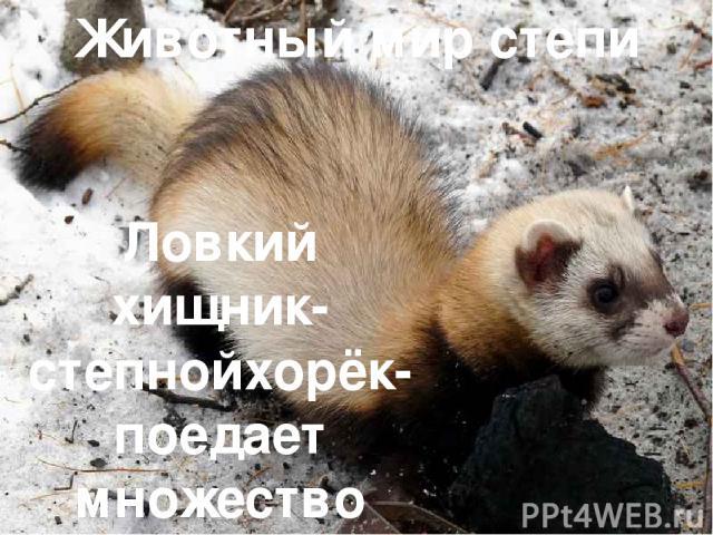 Животный мир степи Ловкий хищник-степнойхорёк-поедает множество грызунов.