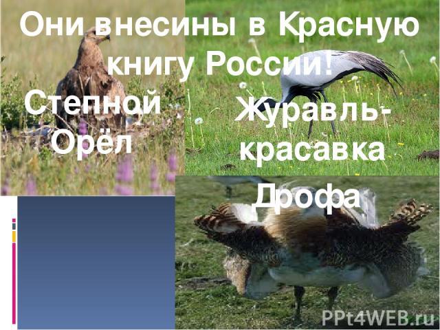 Они внесины в Красную книгу России! Степной Орёл Дрофа Журавль-красавка