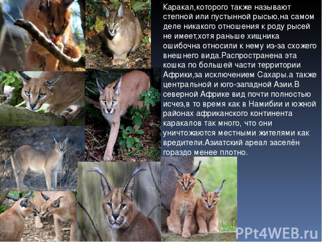 Каракал,которого также называют степной или пустынной рысью,на самом деле никакого отношения к роду рысей не имеет,хотя раньше хищника ошибочна относили к нему из-за схожего внешнего вида.Распространена эта кошка по большей части территории Африки,з…