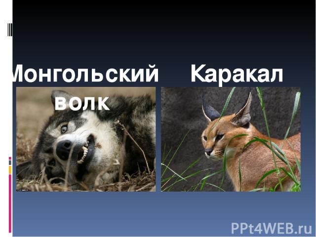Монгольский волк Каракал