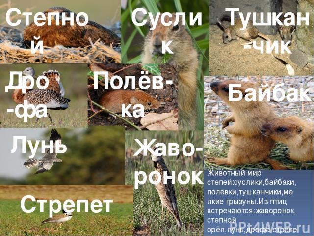 Животный мир степей:суслики,байбаки,полёвки,тушканчики,мелкие грызуны.Из птиц встречаются:жаворонок,степной орёл,лунь,дрофа,стрепет. Тушкан-чик Суслик Байбак Полёв-ка Жаво-ронок Степной орёл Лунь Дро-фа Стрепет