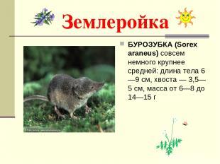 Землеройка БУРОЗУБКА (Sorex araneus) совсем немного крупнее средней: длина тела