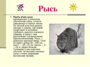 Рысь РЫСЬ (Felis lynx) принадлежит к типичным обитателям тайги, отчасти смешанны