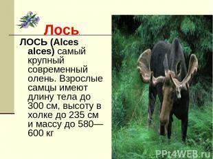 Лось. ЛОСЬ (Alces alces) самый крупный современный олень. Взрослые самцы имеют д