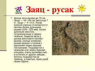 Заяц - русак Длина тела русака до 70 см, чаще — 55—60 см, масса до 7 кг, чаще —