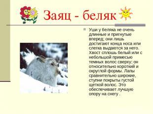 Заяц - беляк Уши у беляка не очень длинные и пригнутые вперед; они лишь достигаю