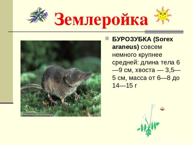 Землеройка БУРОЗУБКА (Sorex araneus) совсем немного крупнее средней: длина тела 6—9 см, хвоста — 3,5—5 см, масса от 6—8 до 14—15 г