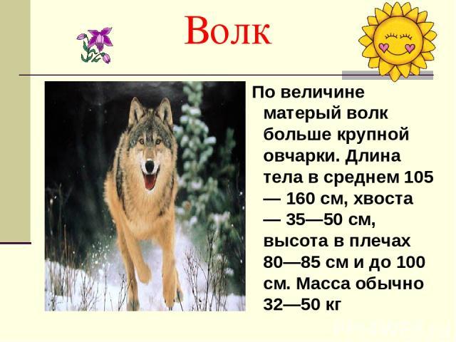 Волк По величине матерый волк больше крупной овчарки. Длина тела в среднем 105— 160 см, хвоста — 35—50 см, высота в плечах 80—85 см и до 100 см. Масса обычно 32—50 кг