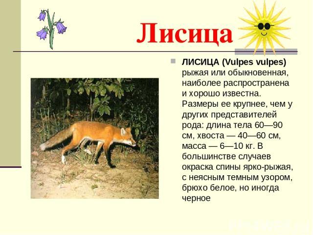 Лисица ЛИСИЦА (Vulpes vulpes) рыжая или обыкновенная, наиболее распространена и хорошо известна. Размеры ее крупнее, чем у других представителей рода: длина тела 60—90 см, хвоста — 40—60 см, масса — 6—10 кг. В большинстве случаев окраска спины ярко-…