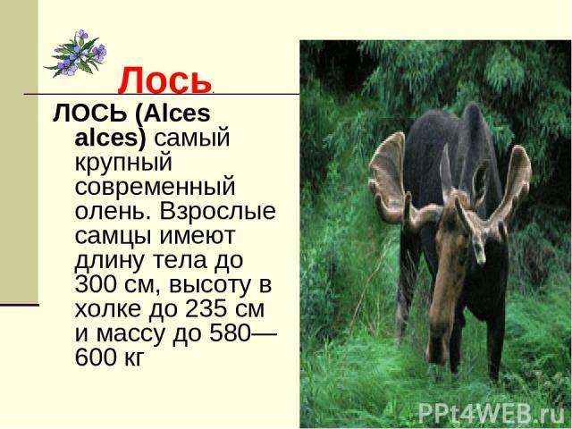 Лось. ЛОСЬ (Alces alces) самый крупный современный олень. Взрослые самцы имеют длину тела до 300 см, высоту в холке до 235 см и массу до 580—600 кг