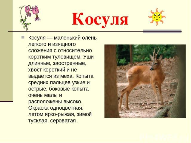 Косуля Косуля — маленький олень легкого и изящного сложения с относительно коротким туловищем. Уши длинные, заостренные, хвост короткий и не выдается из меха. Копыта средних пальцев узкие и острые, боковые копыта очень малы и расположены высоко. Окр…