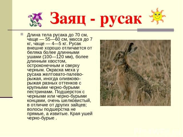 Заяц - русак Длина тела русака до 70 см, чаще — 55—60 см, масса до 7 кг, чаще — 4—5 кг. Русак внешне хорошо отличается от беляка более длинными ушами (100—120 мм), более длинным хвостом, остроконечным и сверху черным. Окраска меха у русака желтовато…
