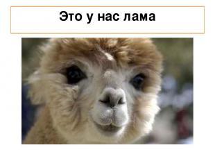 Это у нас лама