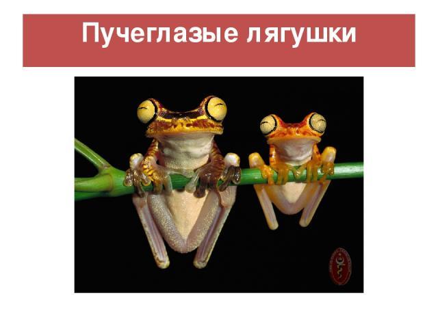 Пучеглазые лягушки