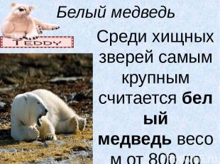 Белый медведь Среди хищных зверей самым крупным считаетсябелый медведьвесом от