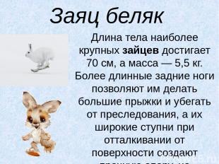 Заяц беляк Длина тела наиболее крупныхзайцевдостигает 70 см, а масса — 5,5 кг.