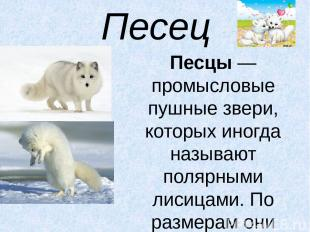 Песец Песцы— промысловые пушные звери, которых иногда называют полярными лисица
