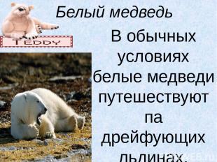 Белый медведь В обычных условиях белые медведи путешествуют па дрейфующих льдина