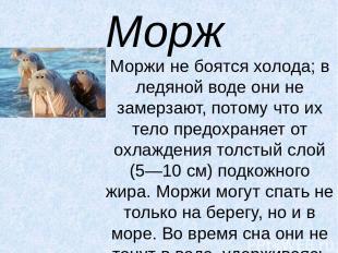 Морж Моржи не боятся холода; в ледяной воде они не замерзают, потому что их тело