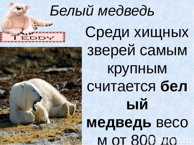 Белый медведь Среди хищных зверей самым крупным считаетсябелый медведьвесом от 800 до 1000 кг. Для существования белого медведя необходимы три условия: льды, открытые участки моря и береговая полоса. Пищу ему доставляет море; береговая полоса нужн…
