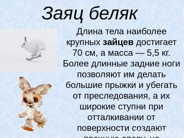 Заяц беляк Длина тела наиболее крупныхзайцевдостигает 70 см, а масса — 5,5 кг. Более длинные задние ноги позволяют им делать большие прыжки и убегать от преследования, а их широкие ступни при отталкивании от поверхности создают прочную опору, не п…