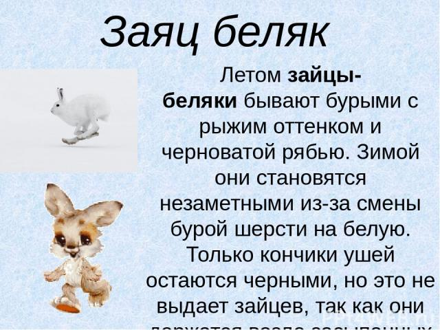 Заяц беляк Летомзайцы-белякибывают бурыми с рыжим оттенком и черноватой рябью. Зимой они становятся незаметными из-за смены бурой шерсти на белую. Только кончики ушей остаются черными, но это не выдает зайцев, так как они держатся возле засыпанных…