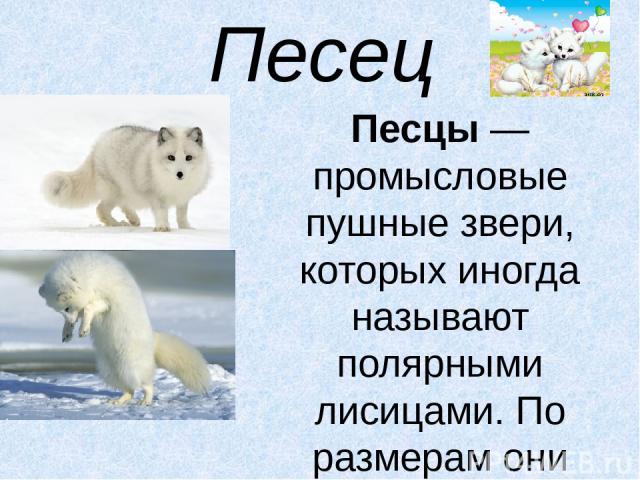 Песец Песцы— промысловые пушные звери, которых иногда называют полярными лисицами. По размерам они немного меньше настоящих лисиц. Белый песецстановится чисто-белым только зимой, а к лету у него на спине и лопатках появляются крестообразно располо…