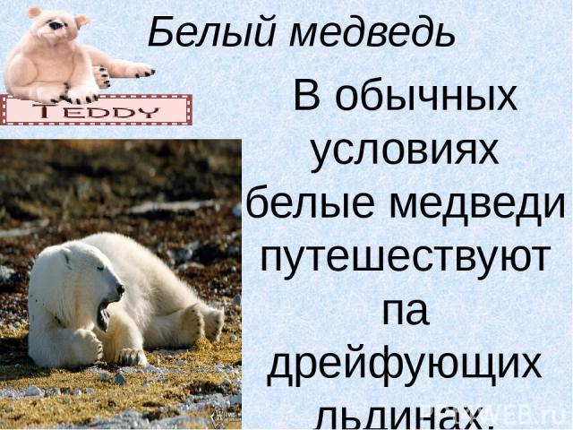 Белый медведь В обычных условиях белые медведи путешествуют па дрейфующих льдинах. Белых медведейпривлекает открытая вода и полыньи на ледяных полях, т. е. места, где чаще можно встретить тюленей, составляющих основной их корм. Море для белых медве…