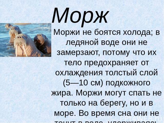 Морж Моржи не боятся холода; в ледяной воде они не замерзают, потому что их тело предохраняет от охлаждения толстый слой (5—10 см) подкожного жира. Моржи могут спать не только на берегу, но и в море. Во время сна они не тонут в воде, удерживаясь на …