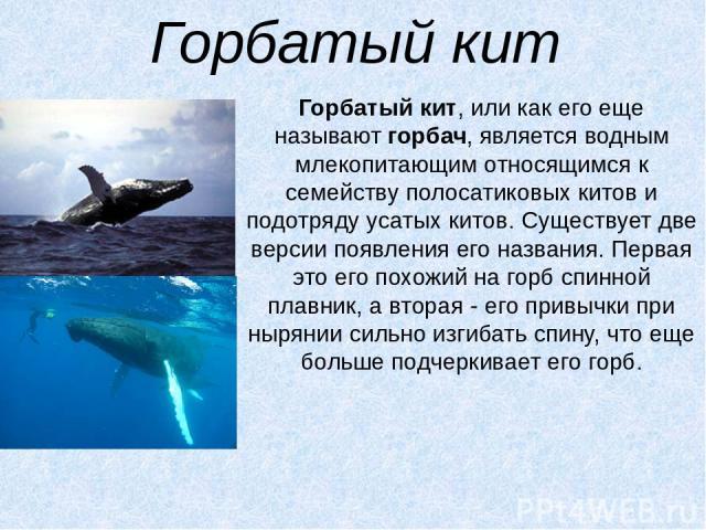 Горбатый кит Горбатый кит, или как его еще называютгорбач, является водным млекопитающим относящимся к семейству полосатиковых китов и подотряду усатых китов. Существует две версии появления его названия. Первая это его похожий на горб спинной плав…