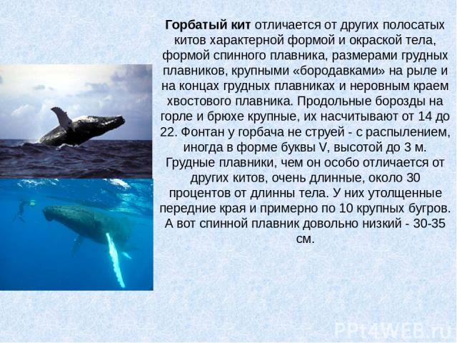 Горбатый китотличается от других полосатых китов характерной формой и окраской тела, формой спинного плавника, размерами грудных плавников, крупными «бородавками» на рыле и на концах грудных плавниках и неровным краем хвостового плавника. Продольны…