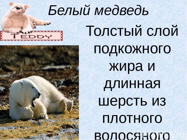 Белый медведь Толстый слой подкожного жира и длинная шерсть из плотного волосяного покрова предохраняют тело от охлаждения, что позволяет медведю долго находиться в воде. Широкие лапы образуют значительную гребную поверхность, поэтому медведь хорошо…