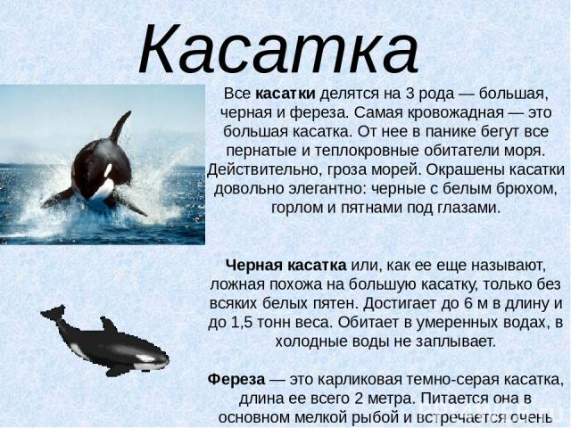 Касатка Всекасаткиделятся на 3 рода — большая, черная и фереза. Самая кровожадная — это большая касатка. От нее в панике бегут все пернатые и теплокровные обитатели моря. Действительно, гроза морей. Окрашены касатки довольно элегантно: черные с бе…