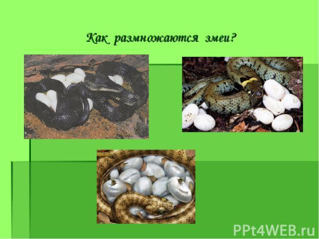 Как размножаются змеи?