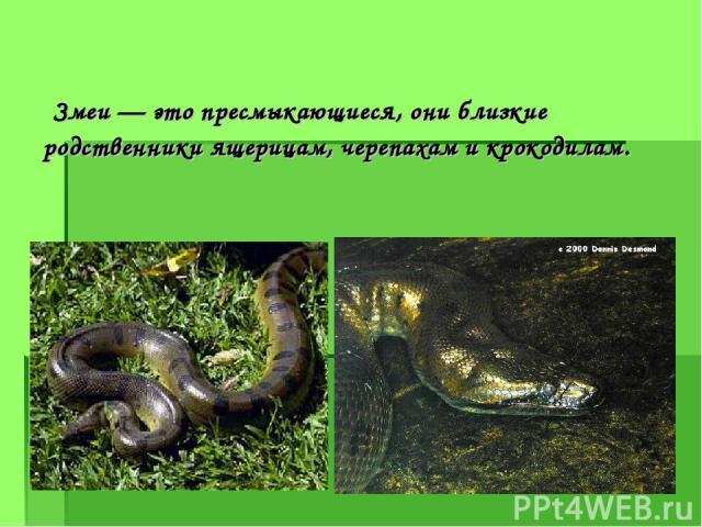 Змеи — это пресмыкающиеся, они близкие родственники ящерицам, черепахам и крокодилам.
